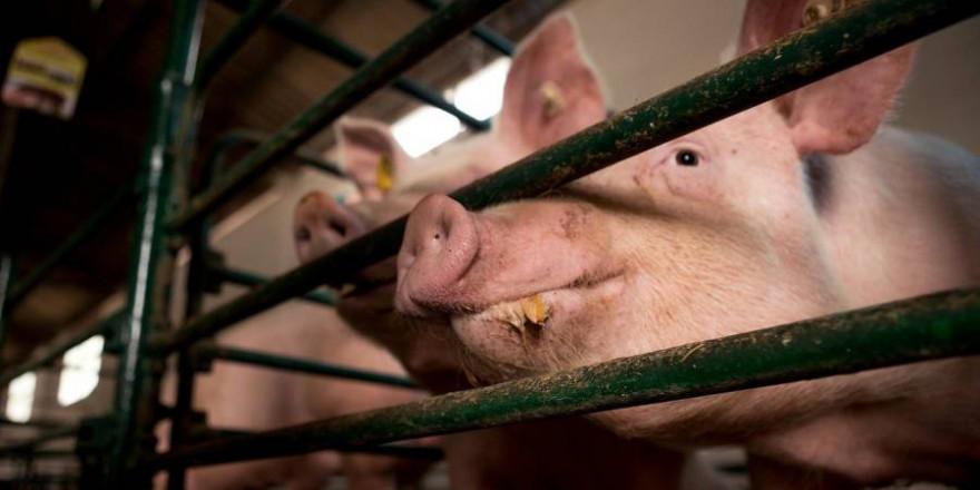 Über 23.000 Schweine müssen nun in dem betroffenen Bewtrieb gekeult werden (Beispielbild: Borko Manigoda)
