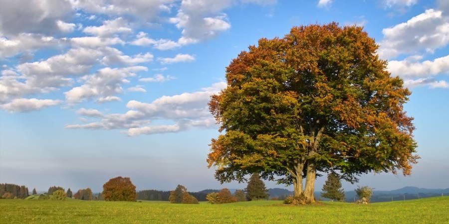 Die Rotbuche ist Baum des Jahres 2022 (Beispielbild: Helmut H. Kroiss)