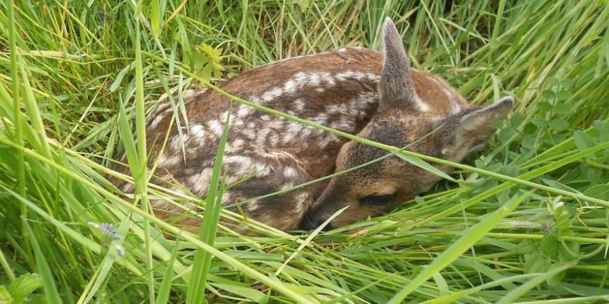 Ein Rehkitz im Gras liegend (Symbolbild: NCIS)