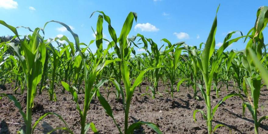 Maispflanzen (Symbolbild: Denis Geier)