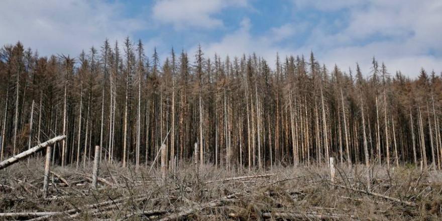 Der Borkenkäfer verursacht bundesweit massive Schäden in den Wäldern (Beispielbild: Nemo406)