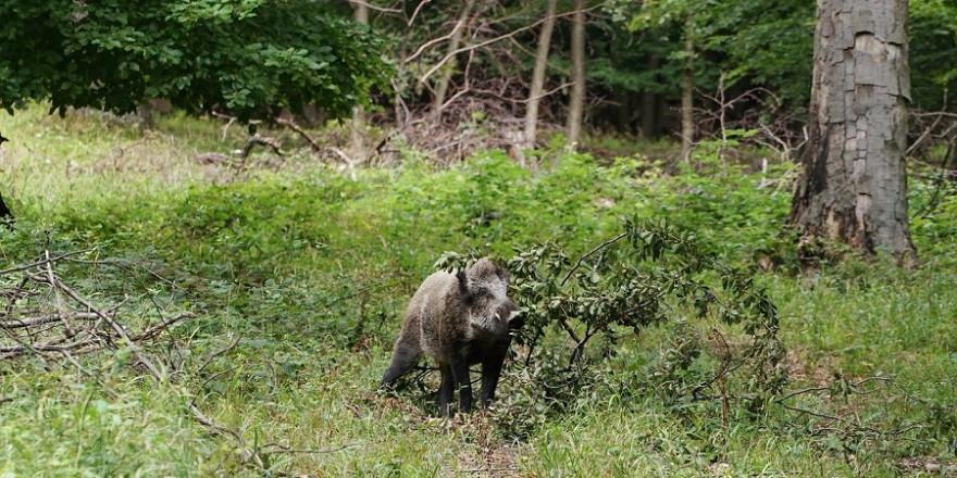 Wildschweine gelten als äußerst wehrhaft, wenn sie sich bedrängt fühlen und können gerade im Bereich der Beine schwerste, zum teil lebensbedrohliche Verletzungen mit ihrem messerscharfen Gewaff (Eckzähne der Keiler) verursachen.