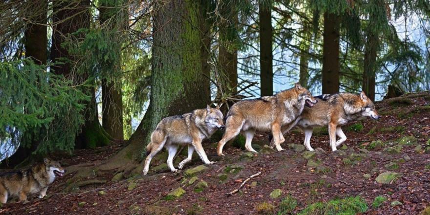 Ein Rudel Wölfe im Wald.
