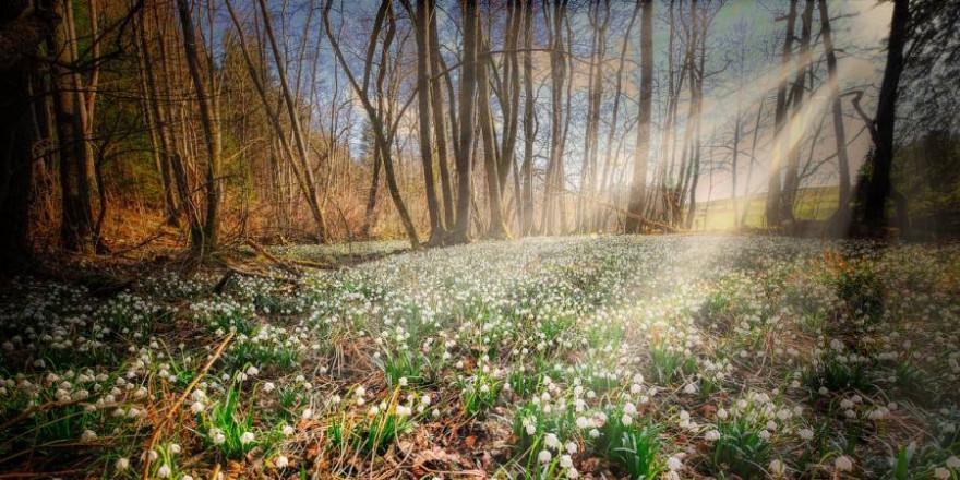 Waldlichtung im Frühling mit einem Meer von Märzenbechern (Foto: Albrecht Fietz)