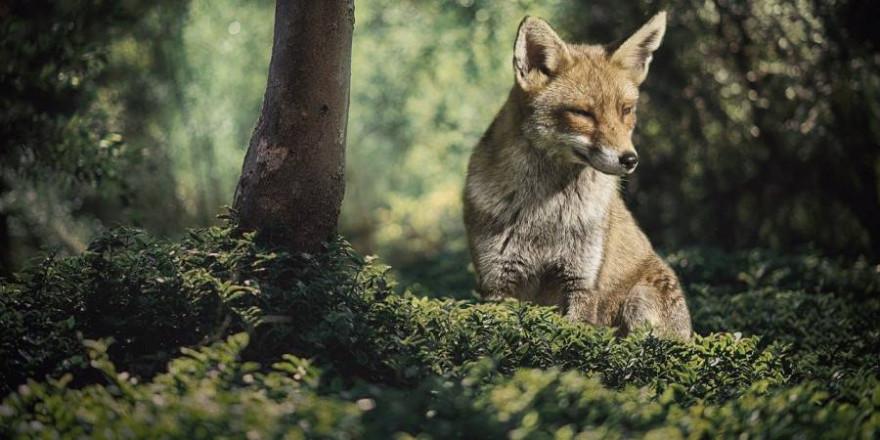 Ein Fuchs im Wald (Foto: Ria Sopala)