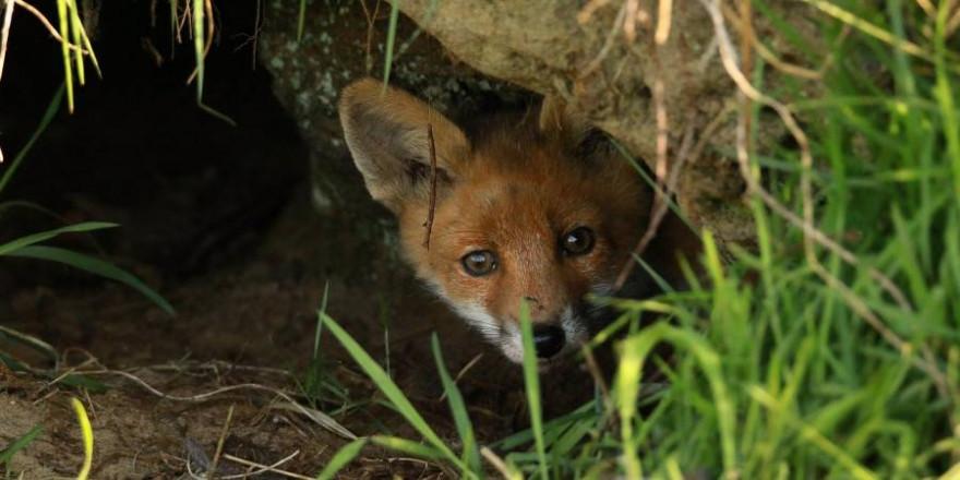 Ein Fuchs blickt aus seinem Bau (Beispielbild: Thomas Wilken)