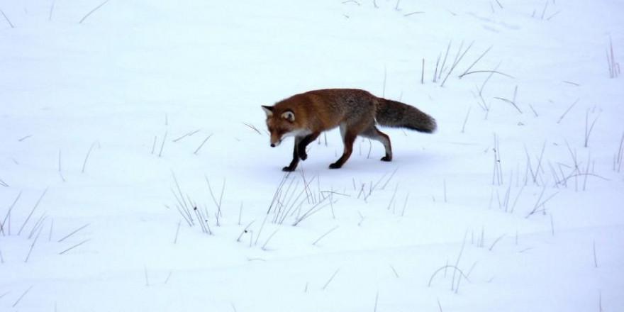 Fuchs im Schnee (Beispielbild: marxilein)