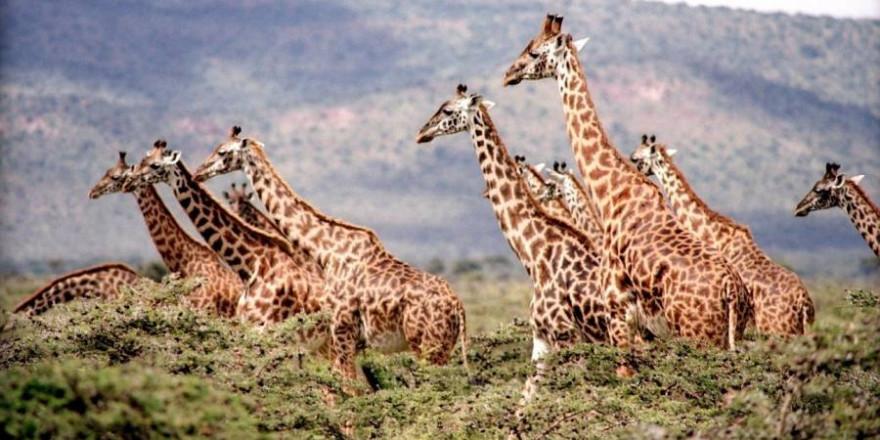 """Giraffen leben in den Savannen Afrikas südlich der Sahara und kommen unter anderem in Namibia vor. Die Weltnaturschutzorganisation (IUCN) stuft sie insgesamt als """"gefährdet"""" ein. (Symbolbild: mrslorettarsmith0)"""