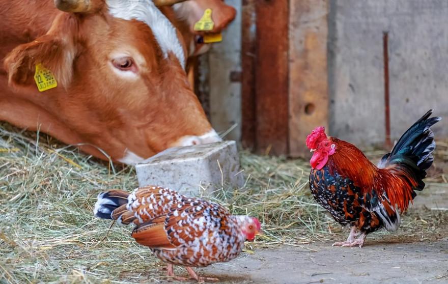 Kuh mit Hühnern