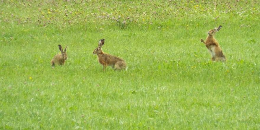 Drei Feldhasen auf einer Grünfläche (Symbolbild: Sr. Maria-Magdalena R.)