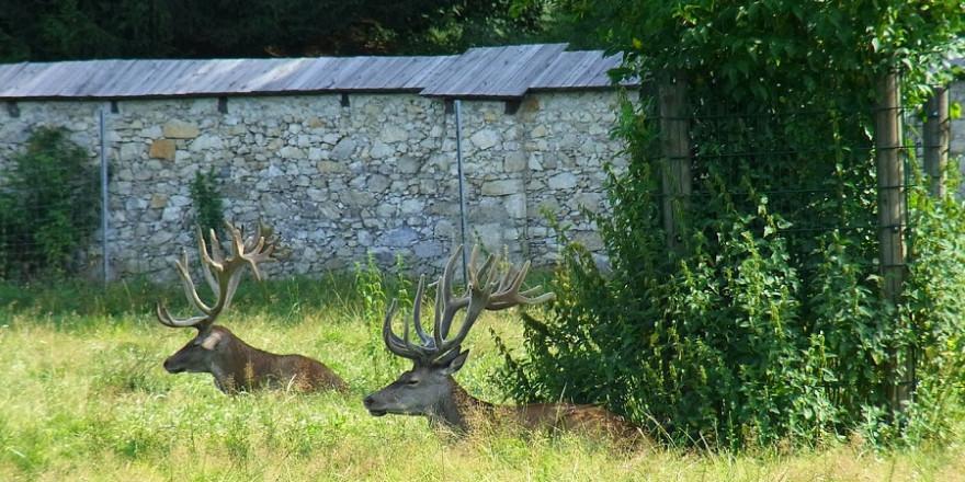 Ohne Jagddruck können es die Hirsche auf dem Anwesen von Regisseur Luc Besson ganz ruhig angehen lassen.