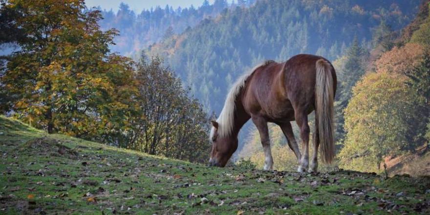 Haflinger auf einer Weide (Beispielbild: Paul Henri Degrande)