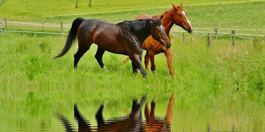 Zwei Pferde auf einer Weide (Symbolbild: Alexas_Fotos)