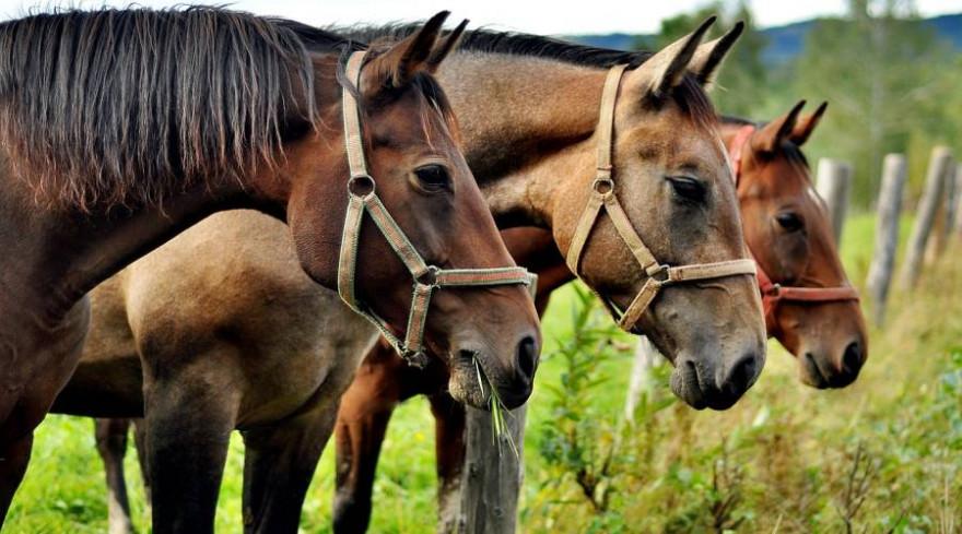 Drei Pferde auf einer Koppel (Beispielbild: Jerzy Górecki)