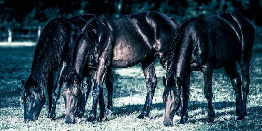 Die beiden getöteten Hannoveraner Jährlinge standen zusammen mit acht weiteren Pferden auf einer Weide, als sie von Wölfen angegriffen wurden (Beispielbild: Didier Aires)