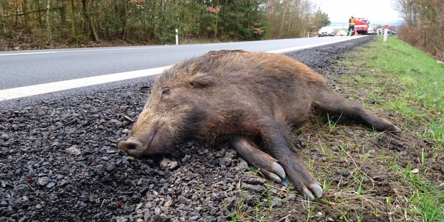 Toter Frischling am Straßenrand nach einem Wildunfall (Beispielbild: Pete_Flyer)