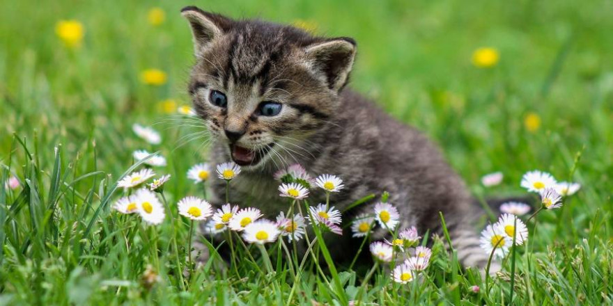Kätzchen auf einer Wiese mit Gänseblümchen (Symbolbild: Ilona Ilyés)