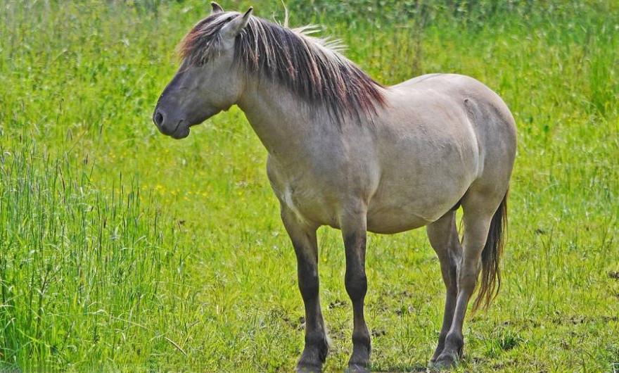 Der Streit zwischen dem Kieler Umweltministerium und dem NABU entfachte durch den Skandal um die Konik-Pferde vom Speicherkoog (Beispielbild: Erich Westendarp)