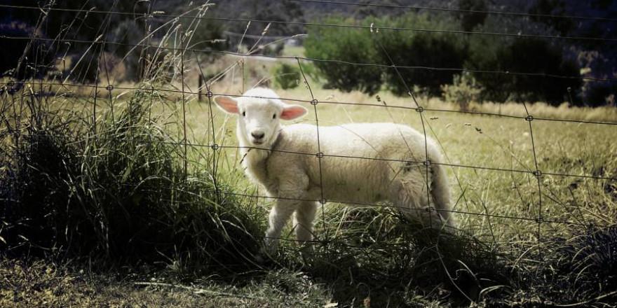 Ein Lamm hinter einem Metallzain (Symbolbild: Benjamin Nelan)