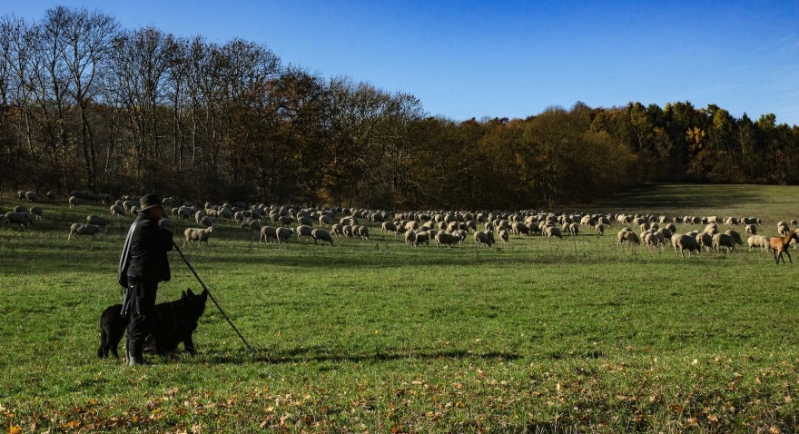 Schäfer und seine Herde