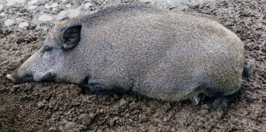 Wildschwein liegend (Foto: Wolfgang Eckert)