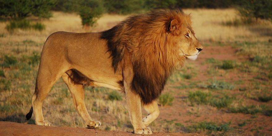 """Die """"BILD"""" echauffierte sich in ihrem reißerischen Artikel u. a. darüber, dass der Abschuss von Löwen in Simbabwe einfach zu einer Safari dazugebucht werden könnte."""