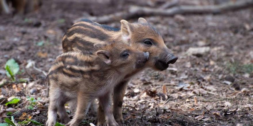 Naturbesucher sollten quicklebendige Wildtierkinder, wie diese beiden gestreiften Frischlinge, nicht berühren oder mitnehmen. (Foto: Oliver Völker)