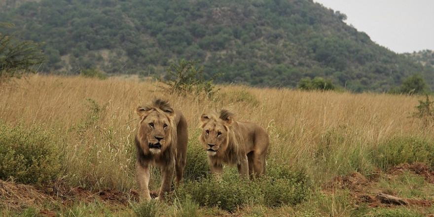 Zwei männliche Löwen.