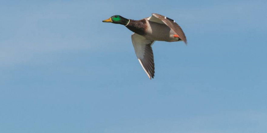 Fliegender Stockentenerpel (Foto: glacika56)