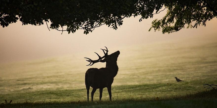Der erlegte Hirsch soll aufgrund des Kieferbruchs auf 65 Kilogramm abgemagert gewesen sein und nicht, wie es normalerweise bei einem Hirsch dieses Alters Usus ist, 140 Kilogramm und mehr gewogen haben.