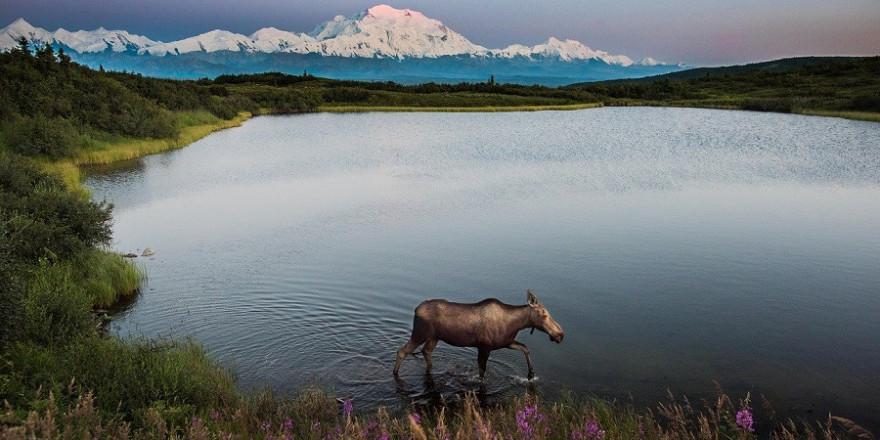 Elch beim Durchwaten eines Gewässers vor imposanter Gebirgslandschaft.