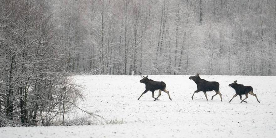 Drei Elche im Winter (Foto: Psubraty)