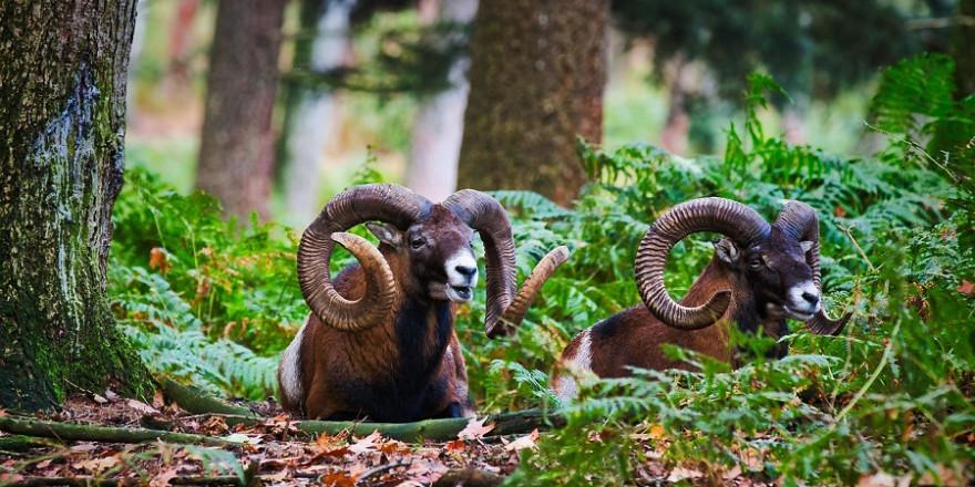Bilder wie dieses, das zwei starke Muffelwidder zeigt, werden sehr wahrscheinlich im Teutoburger Wald bei Bielefeld bald der Vergangenheit angehören.