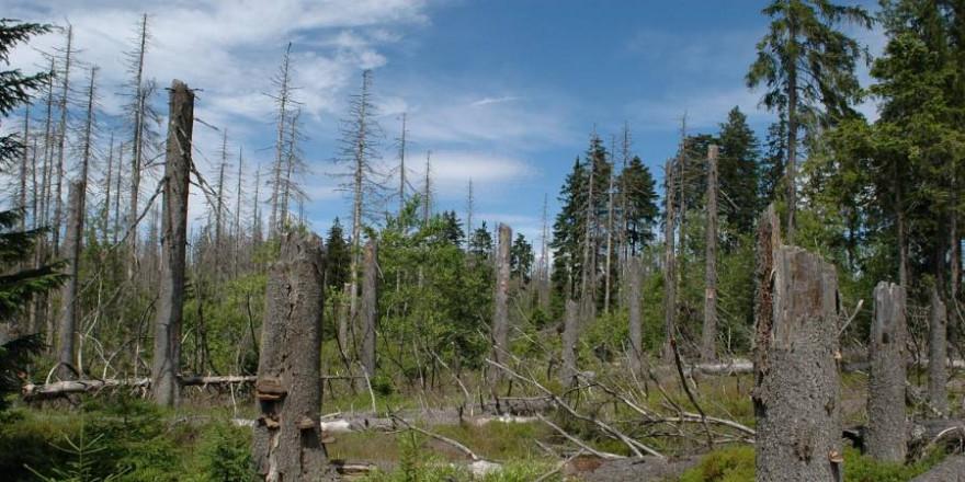 245.000 Hektar Wald müssen aufgeforstet werden, wie beispielsweise hier im Harz (Foto: Brockenhexe)