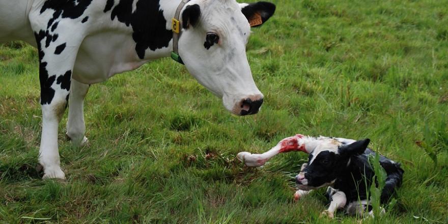 Schwarzbunte Kuh mit neu geborenem Kälbchen