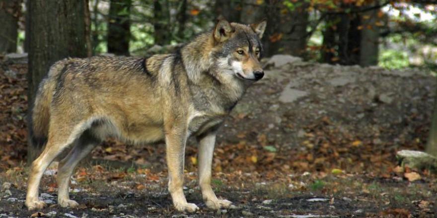 Ein Wolf (Symbolbild: Hans Harbig)