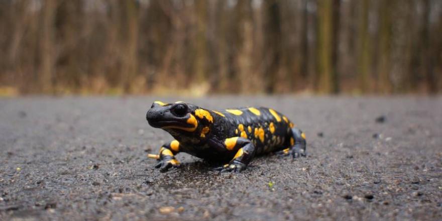 Leider fallen viele Feuersalamander bei ihren Wanderungen dem Verkehr zum Opfer (Symbolbild: inkoalseibua)