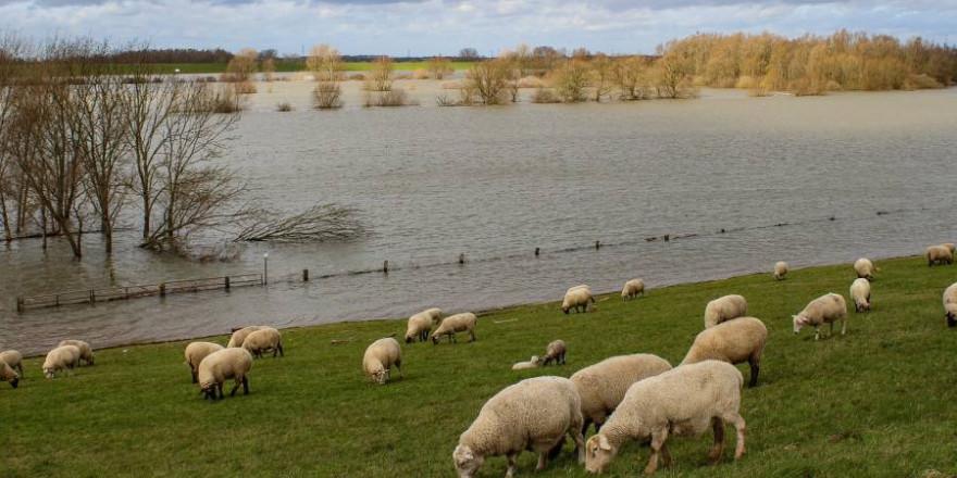 Schafherde bei Hochwasser (Symbolbild: Noverodus)