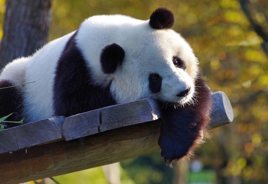 Dösender Panda