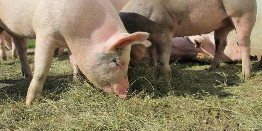 Schweine (Symbolbild: Marion Streiff)
