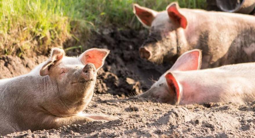 Drei Schweine im Sand liegend (Symbolbild: Michael Strobel)