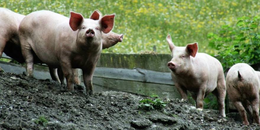 Vier Hausschweine (Symbolbild: Walter Bieck)