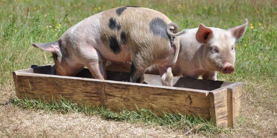 Zwei Schweine an einem Trog (Symbolbild: matildanilsson)