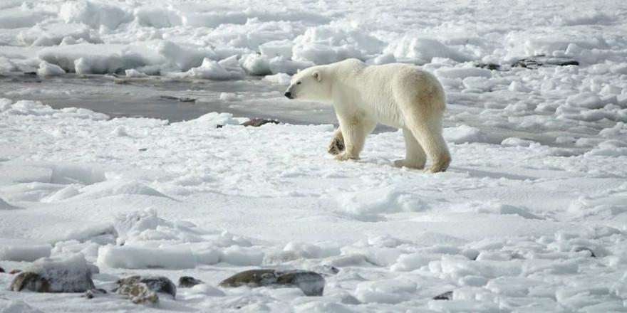 Ein Eisbär (Foto: Margo Tanenbaum)