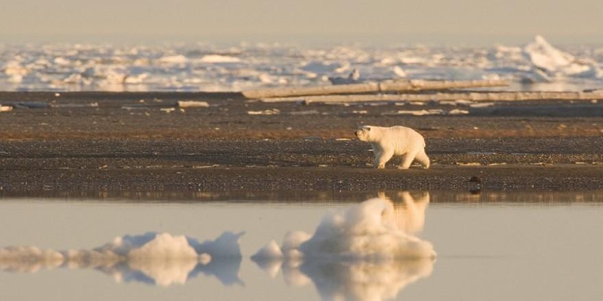 Eisbär auf der Suche nach Nahrung