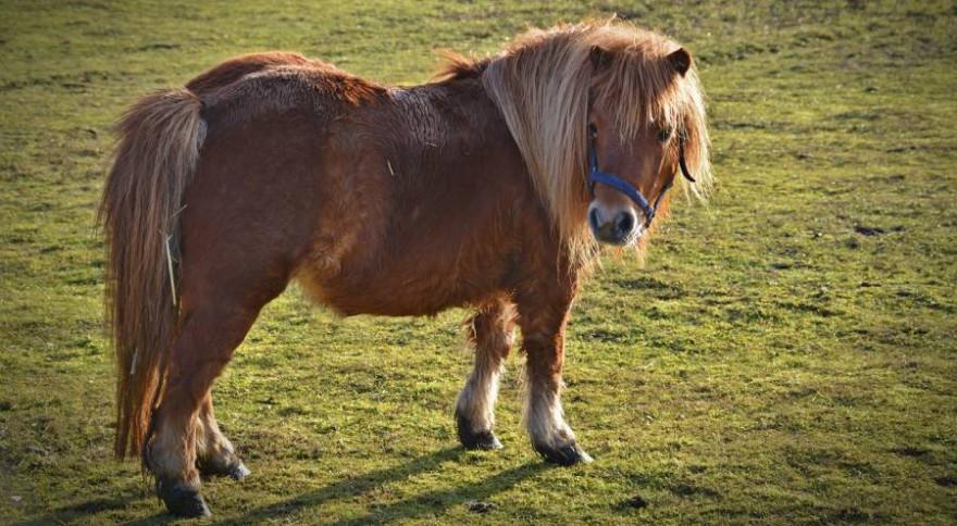 Ein Shetland-Pony wie dieses wurde wahrscheinlich Opfer einer Wolfsattacke (Beispielbild: bernswaelz)