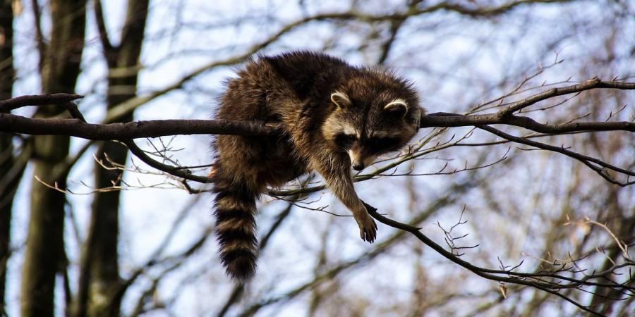 Ein Waschbär auf einem Baum (Beispielbild: AtakOnArt)