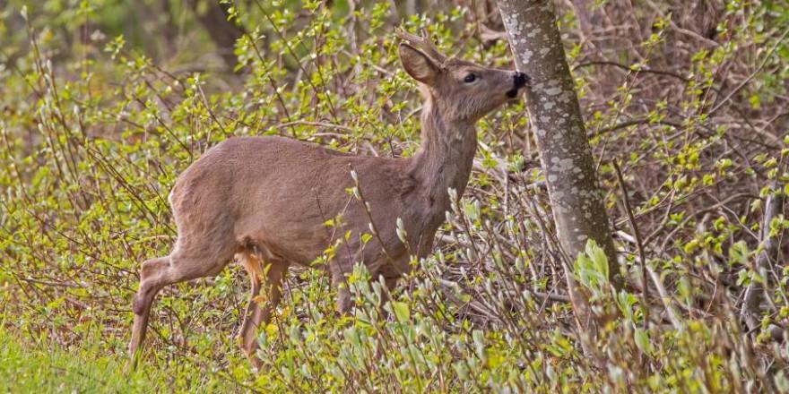 Grundeigentümer und Jagdpächter sollen sich künftig eigenverantwortlich über einen jährlichen Abschusskorridor für Rehwild im Jagdpachtvertrag verständigen. (Foto: adege)