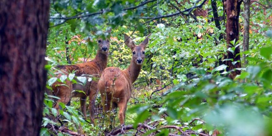 Forst-Jagd-Konflikt lösen: Unter diesem Motto lädt der Deutsche Jagdverband (DJV) zu einer Fachtagung am 22. April in Berlin ein. (Foto: Denis Geier)