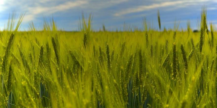 Bei der Grünroggen-Ernte muss besondere Sorgfalt auf die Jungwildrettung gelegt werden, da zahlreiche Arten die frühe Deckung und Äsung gerne annehmen. (Beispielbild: Peggychoucair)